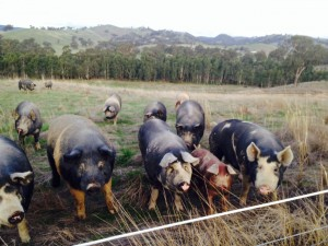 pigs on hill